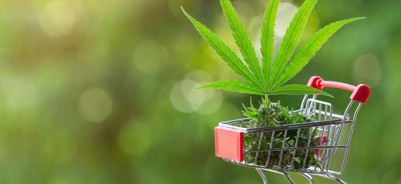 CDB Concept. Thai cannabis. The leaves and shoots of the cannabi